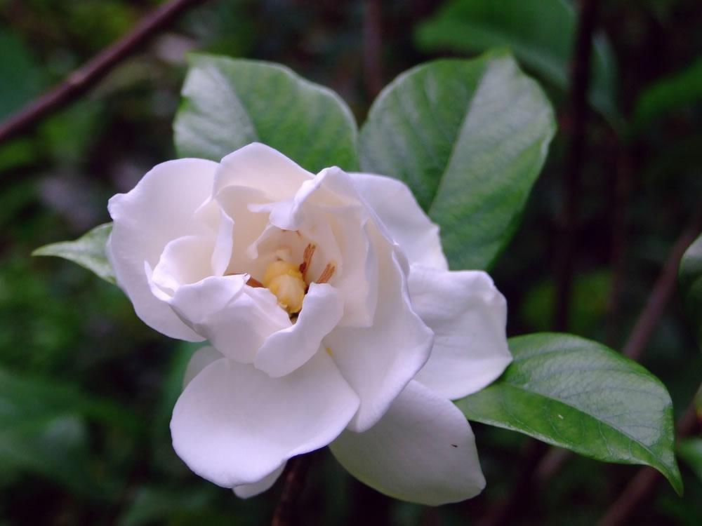 Gardenia-jasminoides-