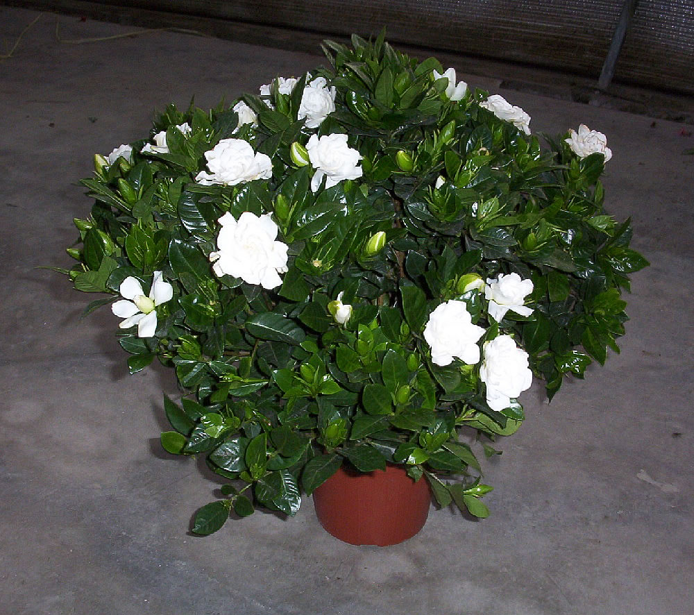 Gardenia-jasminoides-em vaso