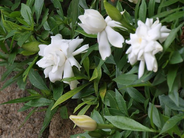 Gardenia-jasminoides1