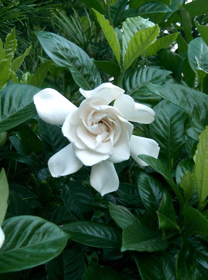 Gardenia_jasminoides_1