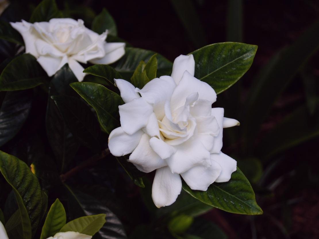 Gardenia_jasminoides__1