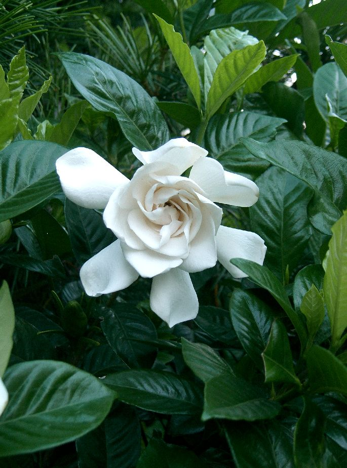 Gardenia_jasminoides_cv1