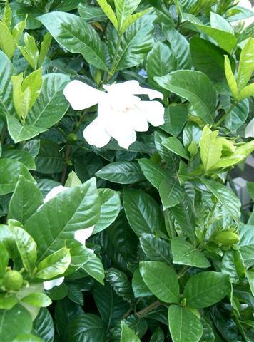 Gardenia_jasminoides_cv2