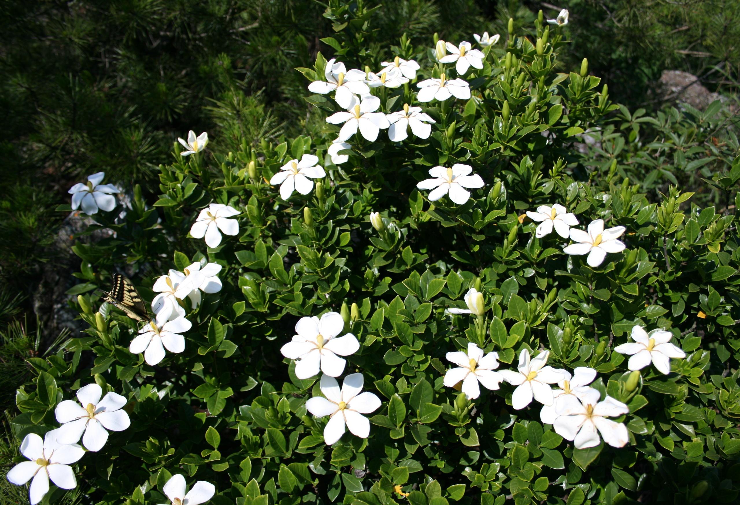 Gardenia_jasminoides_i-13