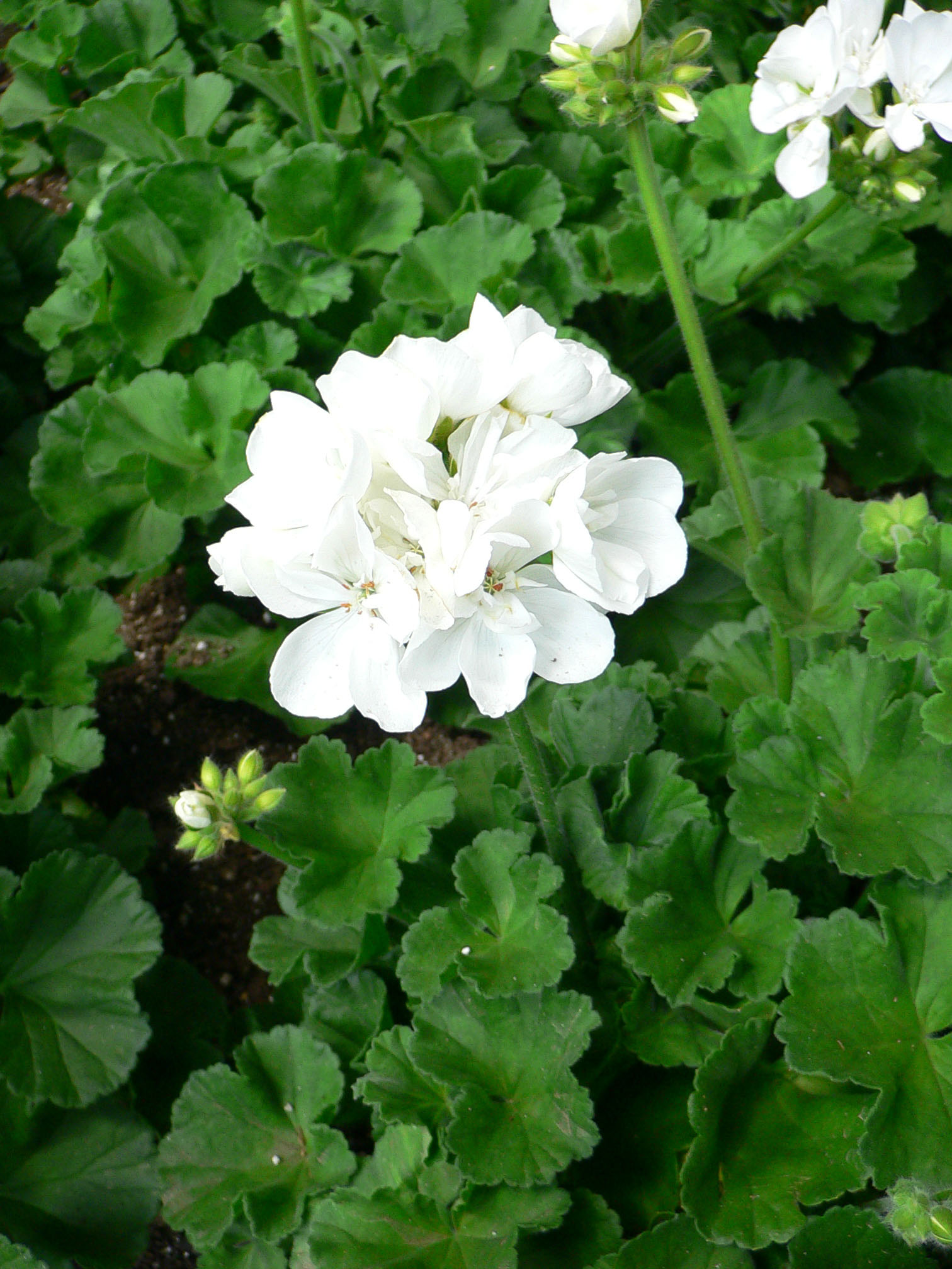 Gerânios (Pelargonium_X_hortorum.jpg)
