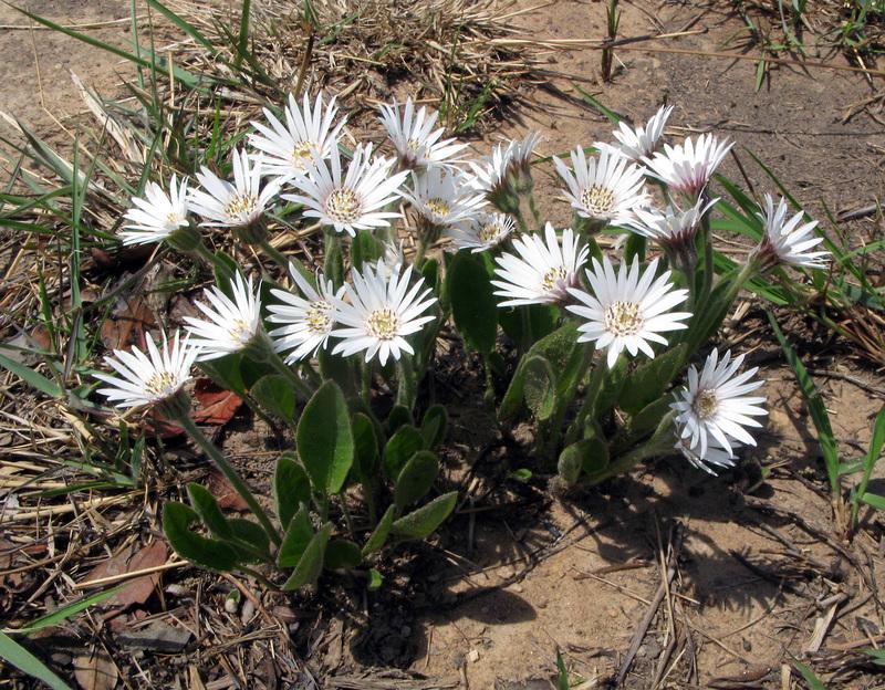 Gerbera viridifolia