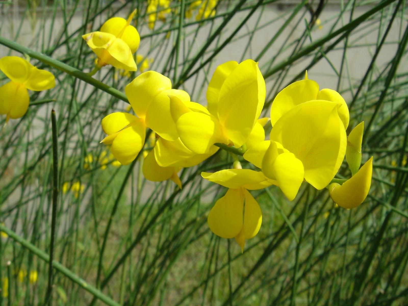 Giesta (Spartium junceum)