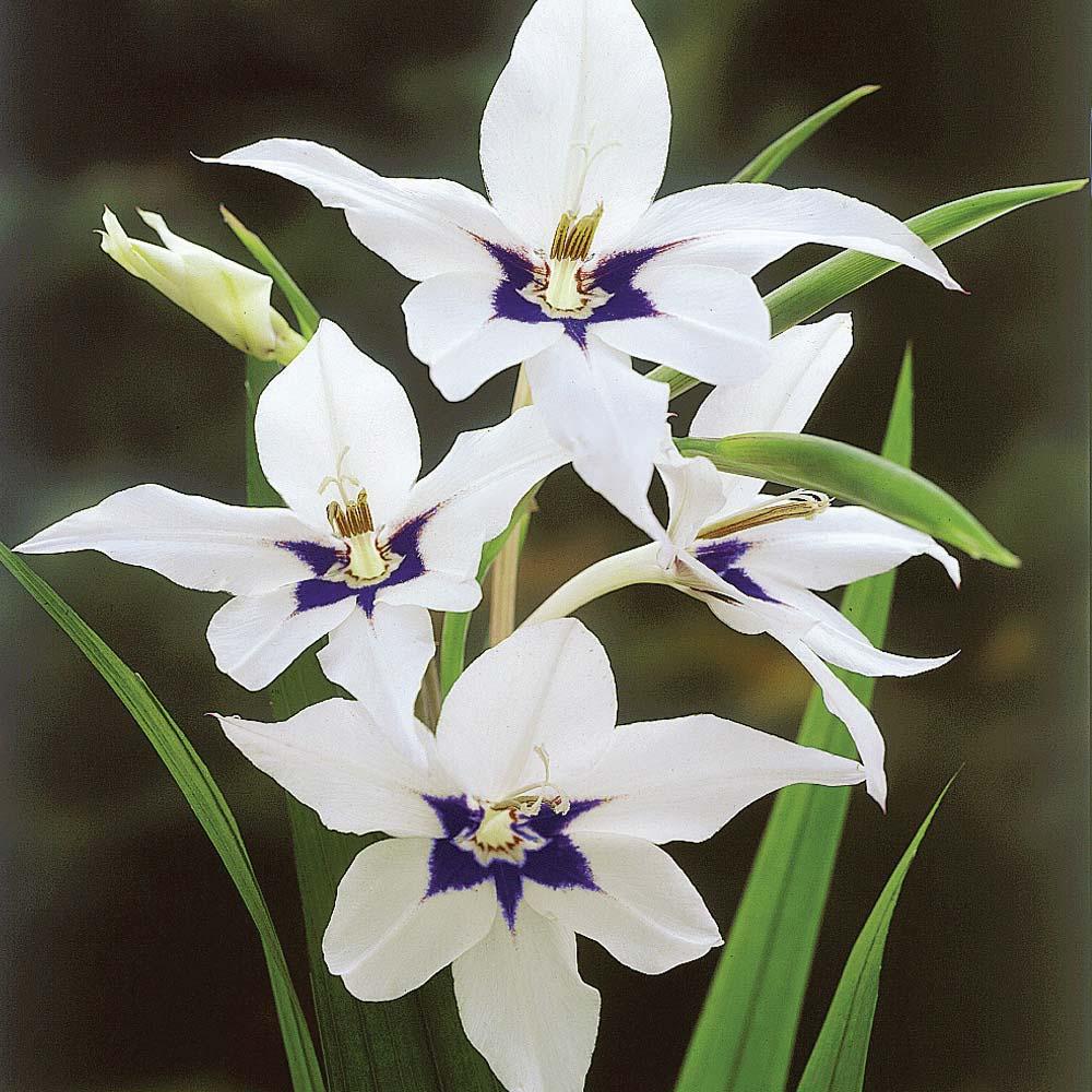 Gladiolus Murielae1