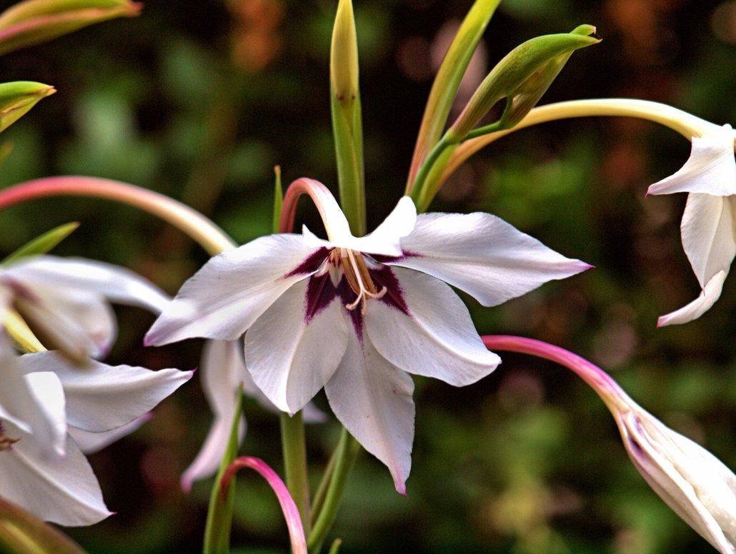 Gladiolus Murielae11