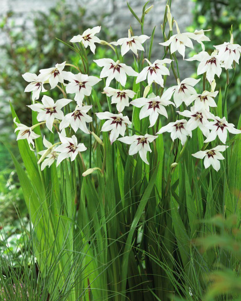 Gladiolus-callianthus_280