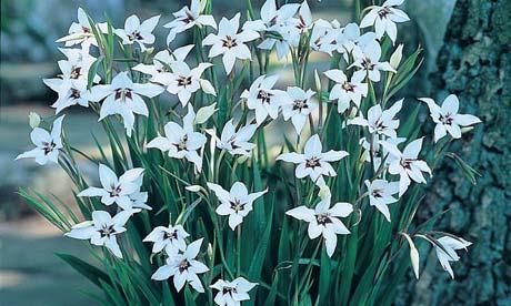 Gladiolus-murielae-007