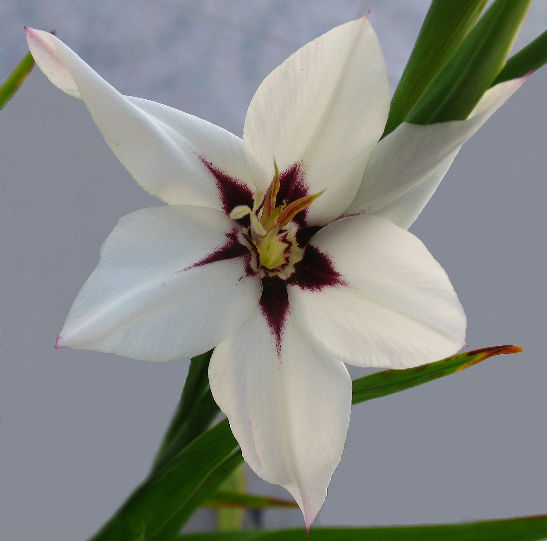 Gladiolus_(92)