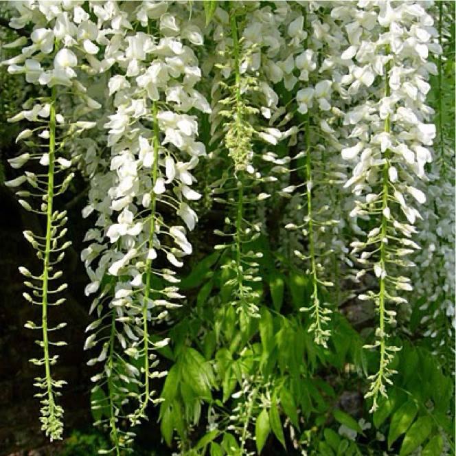 Glicínia branca (Wisteria floribunda alba)