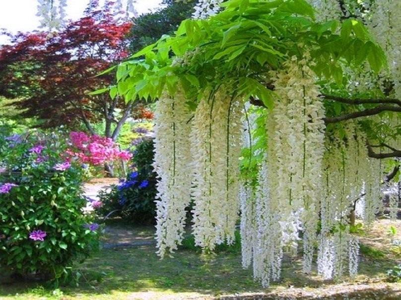Saiba como plantar trepadeiras plantasonya o seu blog for Glicina planta