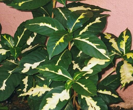 Graptophyllum_pictum