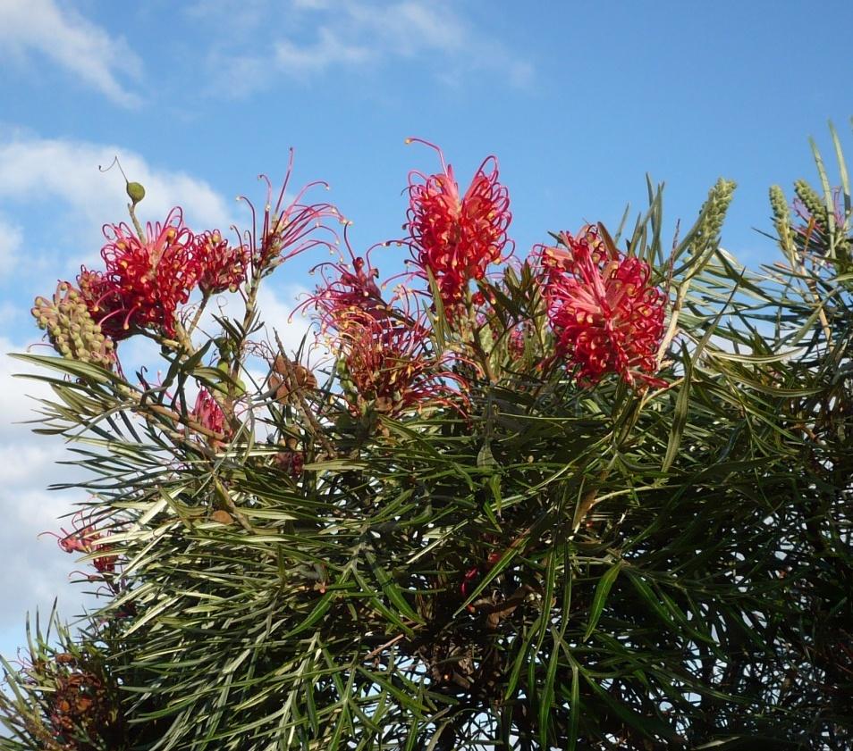 Grevilha-anã (Grevillea banksii)