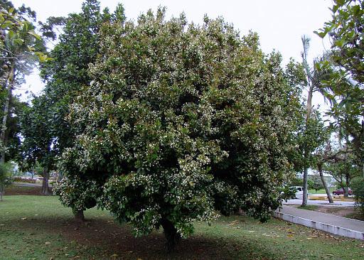 Grumixama - (Eugenia Brasiliensis)