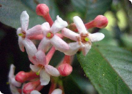 Guettarda uruguensis