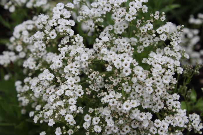 Top Características e cultivo do Véu-de-noiva (Gypsophila paniculata  JP69