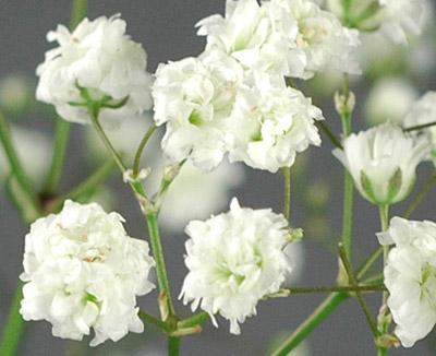 Gypsophila paniculata4
