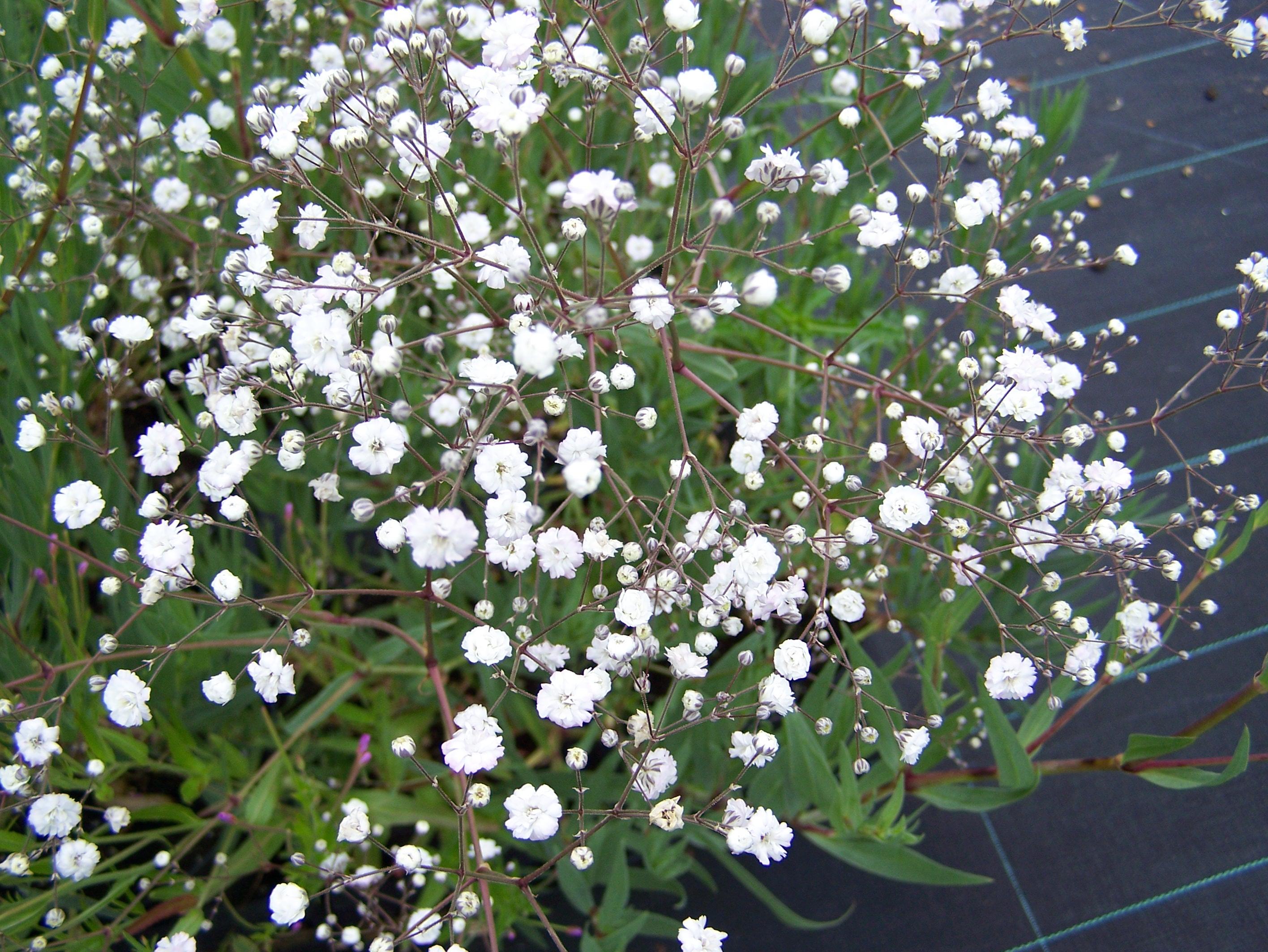 Gypsophilapaniculata