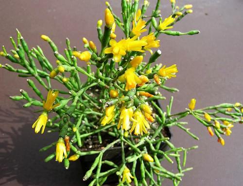 Hatiora_salicornioides