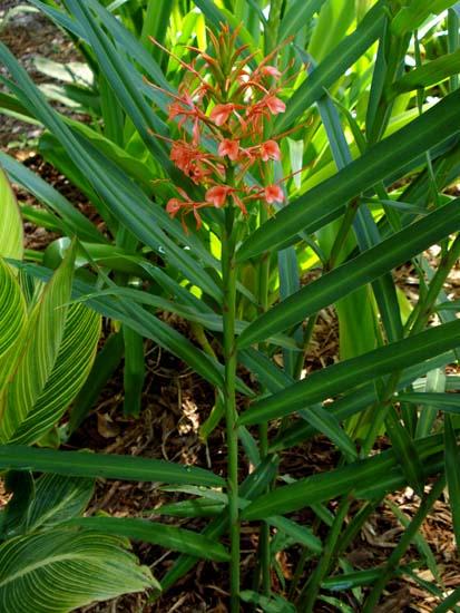 Hedychium coccineum11