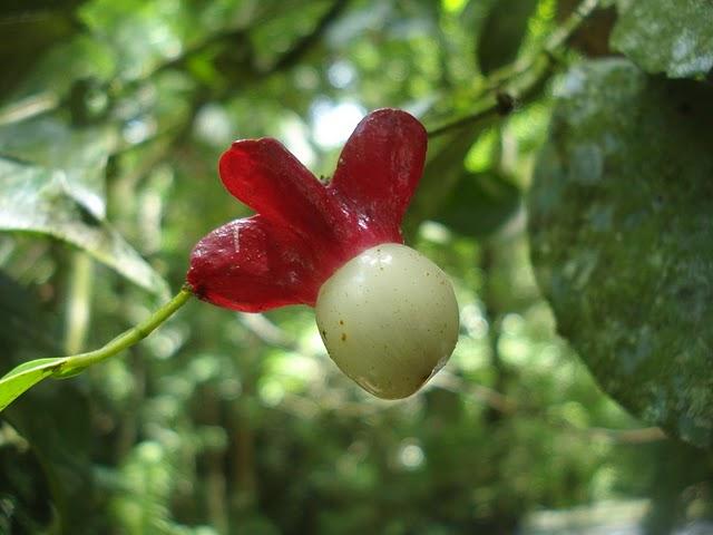 Heisteria silvianii