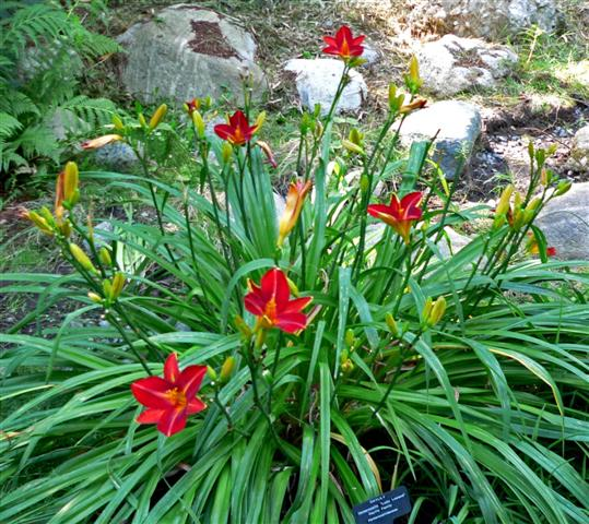 Hemerocallis_ (Small)