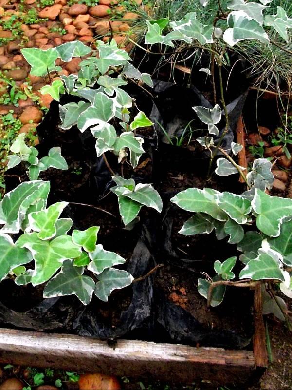 Hera-variegata