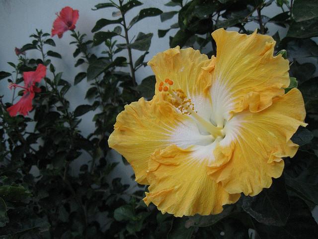 Hibisco-gigante ( Hibiscus rosa-sinensis hybrid )
