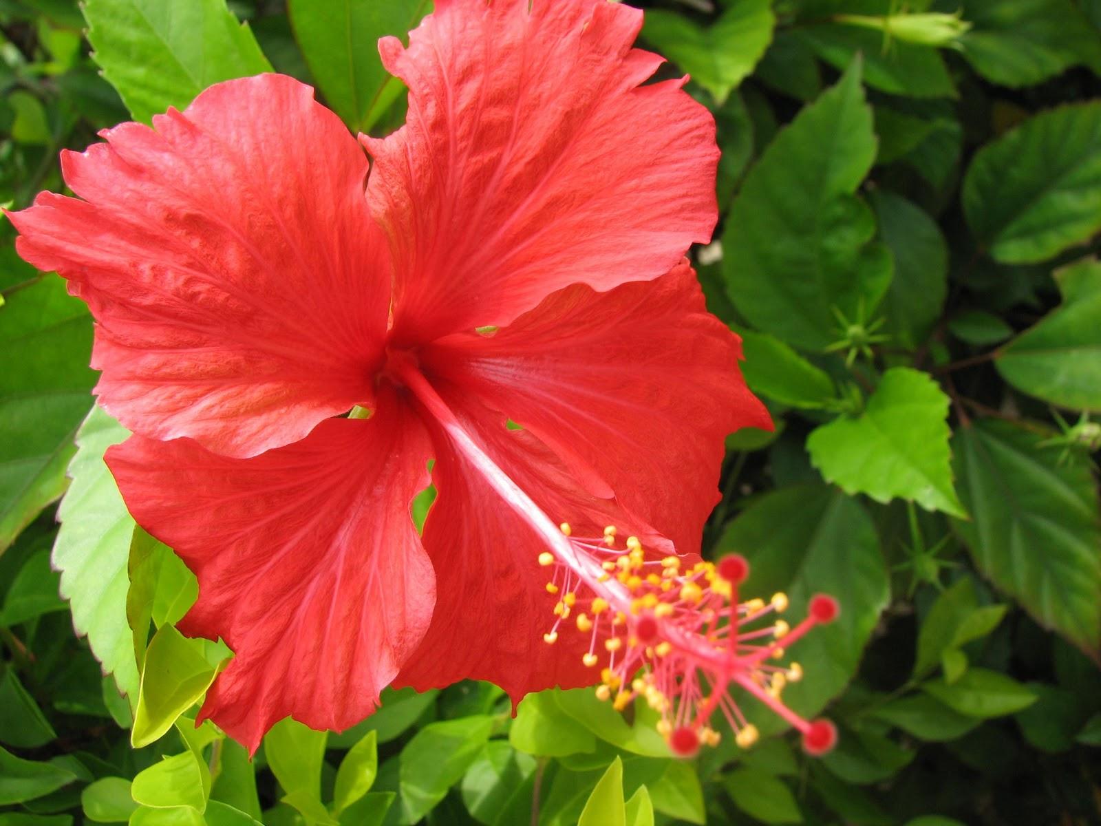 Hibisco rosa-sinensis L.