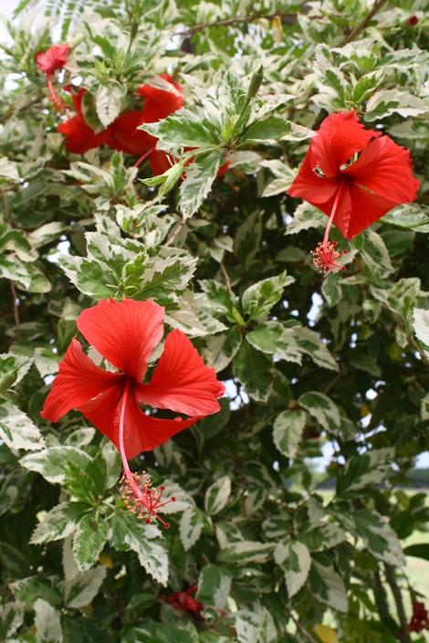 Hibisco-variegado ou hibisco-americano ( Hibiscus rosa-sinensis 'Variegata' )