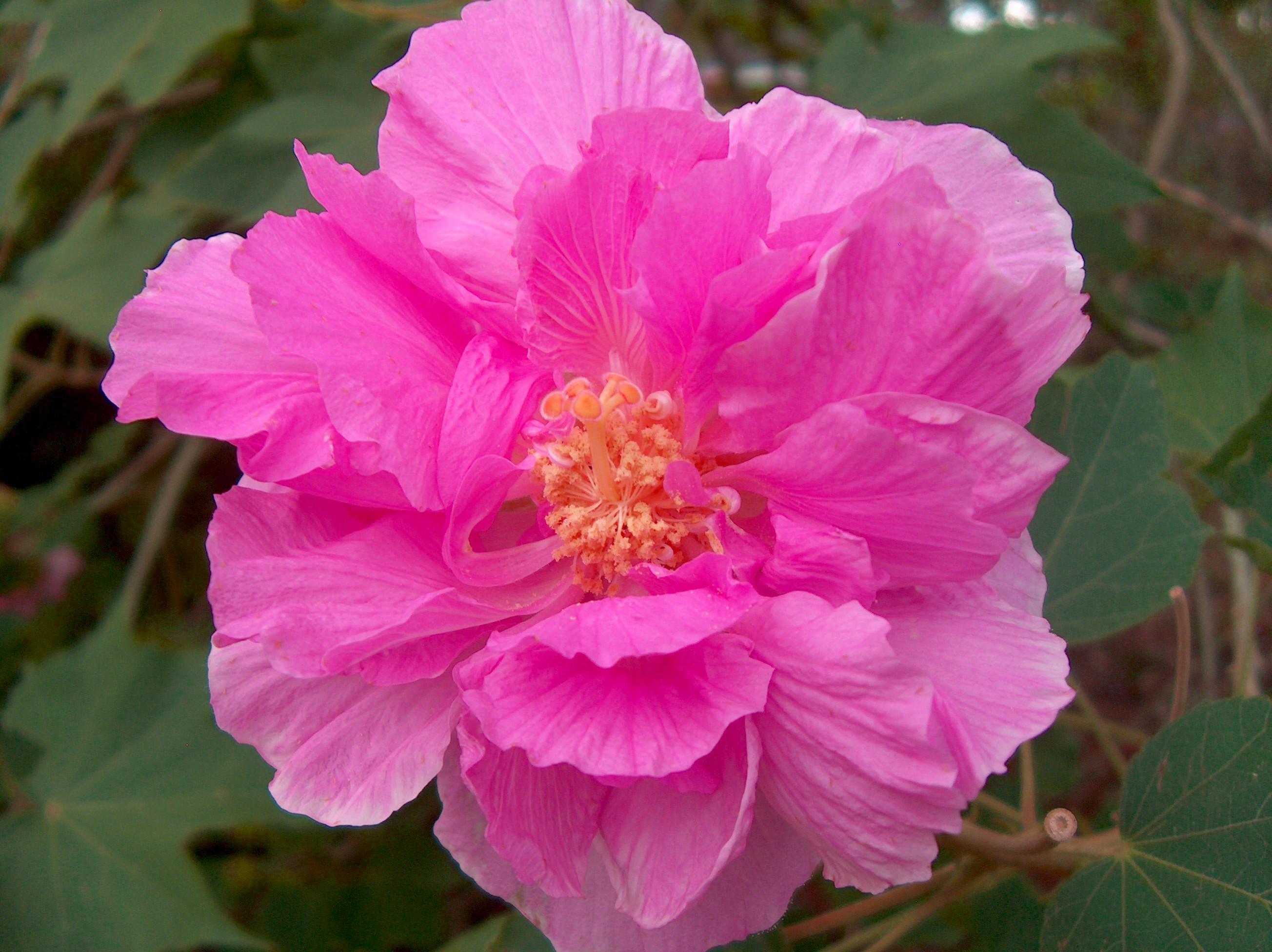 Hibiscus mutabilis – ROSA LOUCA_1