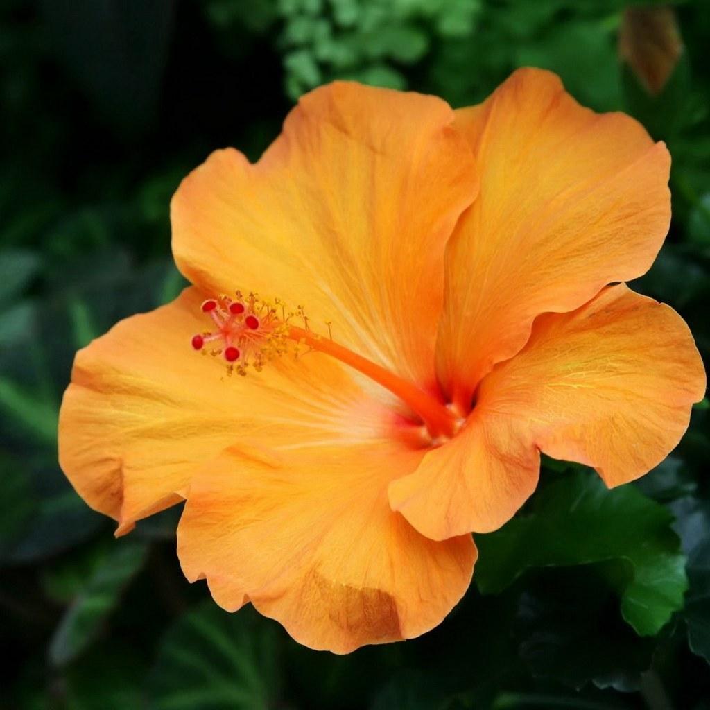 Hibiscus syriacus 08)