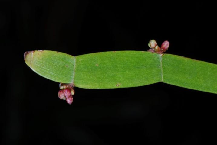 Homalocladium Platycladum1