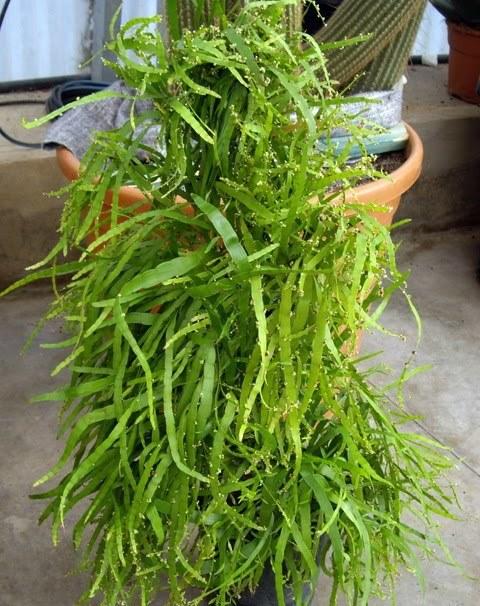 Homalocladium platycladum  (2)
