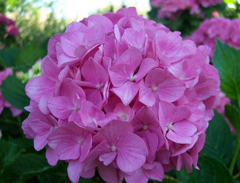 Hort nsia hydrangea macrophylla plantasonya o seu blog sobre cultivo de plantas e flores - Cuidados de las hortensias ...