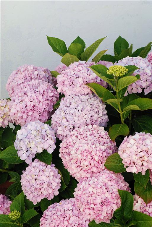 Hortensia (Medium)