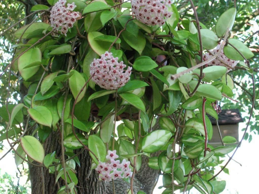 Hoya genus