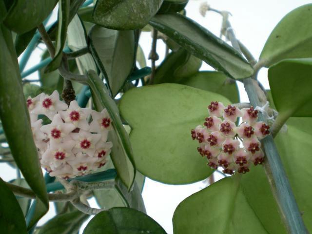 Hoya-kerrii_flowers_op