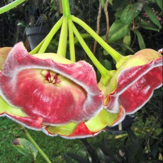 Hoya lauterbachii Gigante1