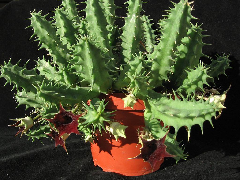 Huernia Keniensis Flor-de-dragão