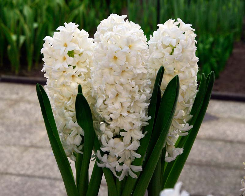Hyacinthus-Orientalis-White-Pearl-800