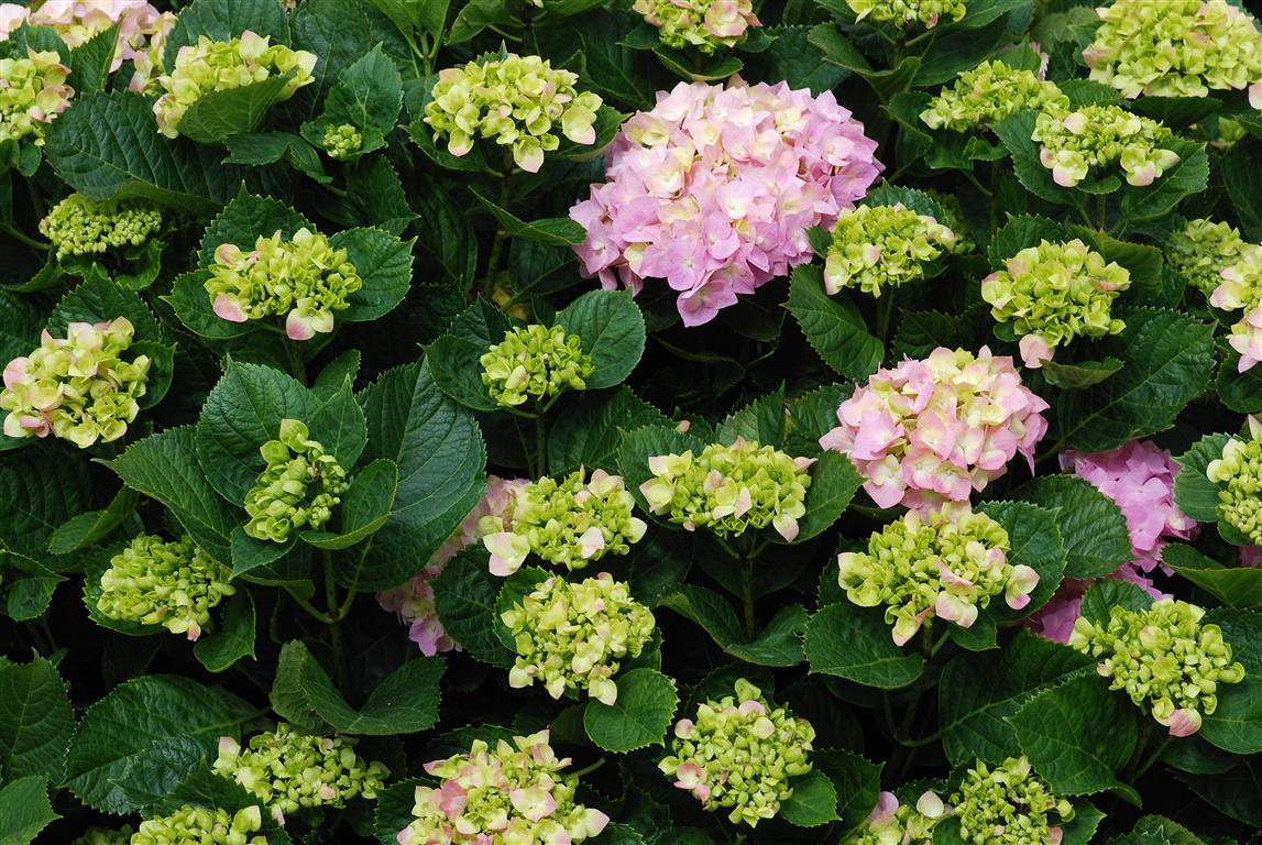 Como plantar hort nsia hydrangea macrophylla - Como podar la hortensia ...