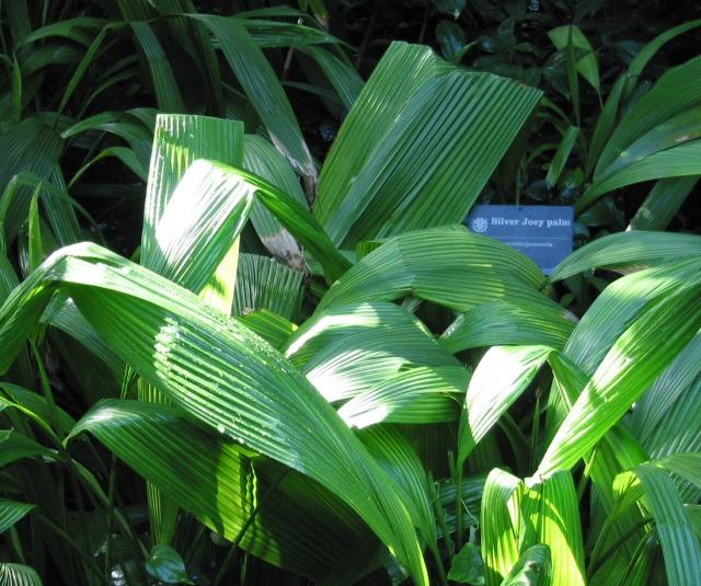 Hypoxidaceae-Curculigo capitulata-001