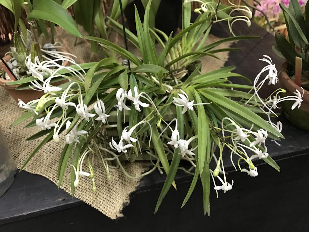orquídea do samurai