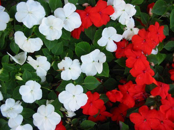 Impatiens a conhecida n o me toque plantasonya o seu blog sobre cultivo de plantas e flores - Alegria planta cuidados ...
