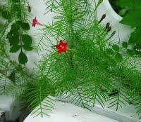 Ipomoea_quamoclit_plant