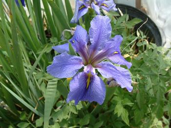 Iris-Louisiana